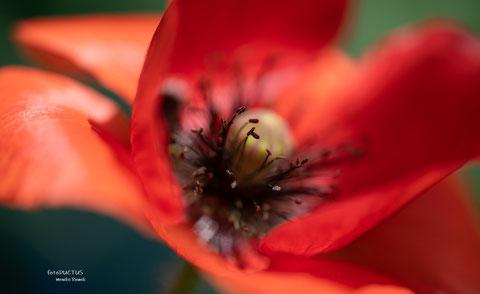 Leuchtendrote Mohnblume