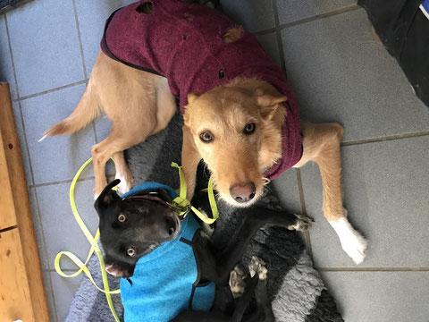 Grim (nun Strupp, links) fand seine Hundekumpel in Horst.