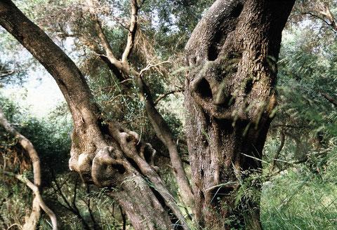 Olivenholzbaum