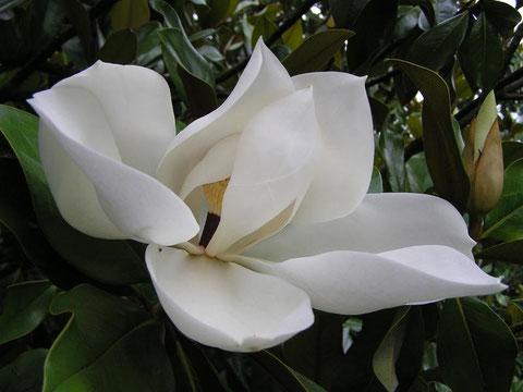 Fleur princière, Magnolia grandiflora