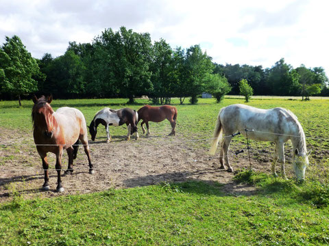 Les chevaux évoluent en liberté dans les 3 ha loués par l'association à Saint-Loubès (Marie Depecker)
