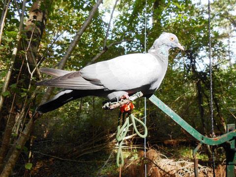 Un appeau pour leurrer la palombe (photo de I. Denis)