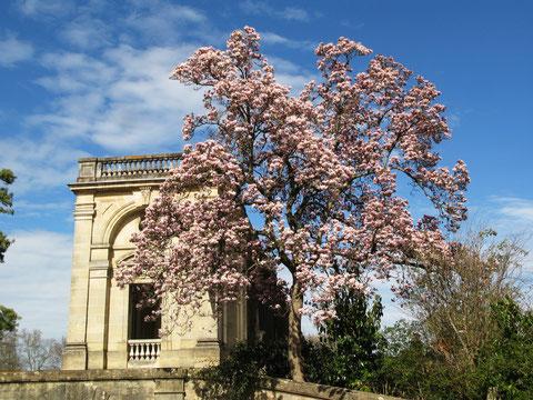 Magnolia dans le Jardin public de Bordeaux