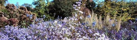 Astern blühen schon im Garten ...