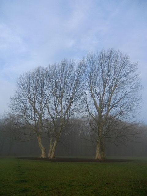朝靄のすずかけの木。春浅くまだ葉が付いていない