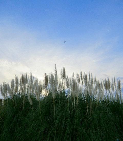 ●パンパスグラスと鳥(神代植物公園:調布市)