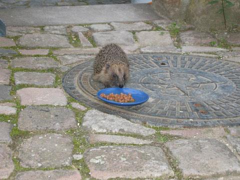 Igor ist ein Feinschmecker und besucht uns regelmäßig in den Abendstunden.