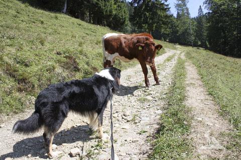 wandern mit hund; Kühe; Kühe Alm; mein-wanderhund; Andrea Obele