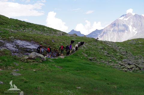 Weidevieh Bergwandern mit Hund