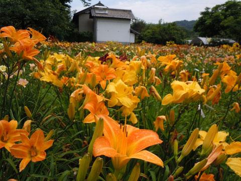花盛りのヘメロカリス園の風景
