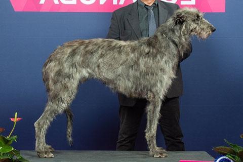 Neue Deerhoundverpaarung 2018, Deutschland/Scottish Deerhound Welpen FCI/ Deerhound Würfe/Züchter/Welpen!