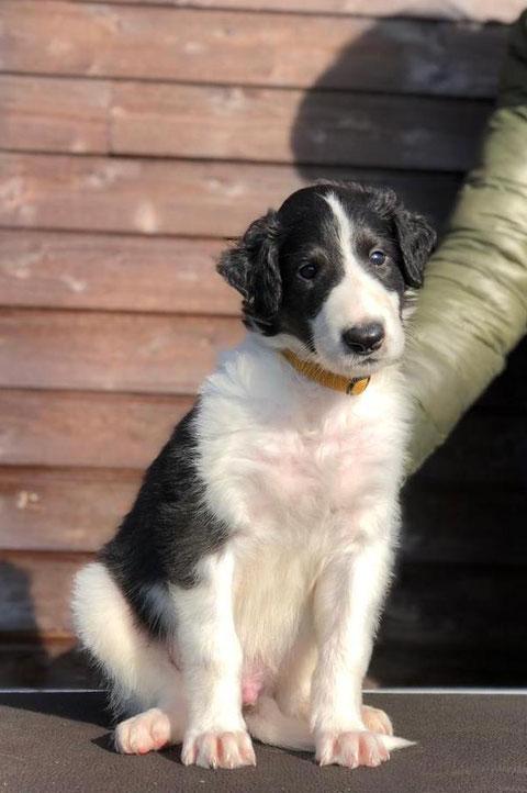 """Barsois & Scottish Deerhounds auf dem Land aufgezogen! Artgerechte Barsoi- und Deerhound Zucht in der Eifel! """"Von Alshamina..., die etwas andere Barsoi Zucht!"""