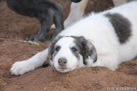 Russische Windhund Welpen/Barsoi Zucht mit Liebe und Verstand/Barsois mit FCI Pedigree (Ahnentafel) aus Deutschland!