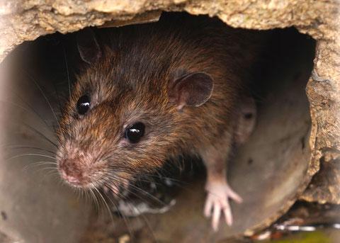 rat et souris comment s'en débarasser