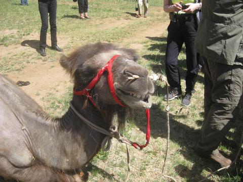 """""""Hans"""", das Jurten-Camp-Kamel"""