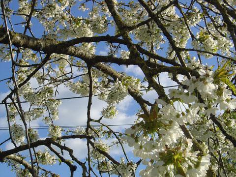Cerisier en feurs à la ferme de La Clé des  Champs