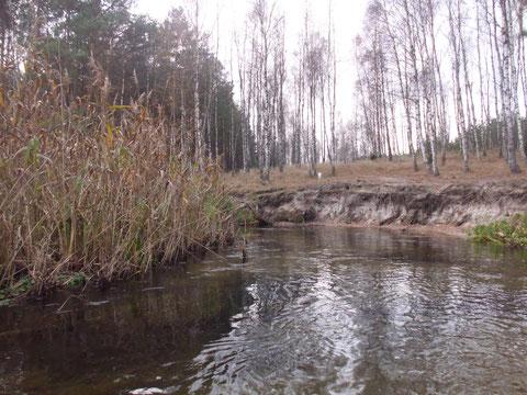 Birkenwald am Ufer