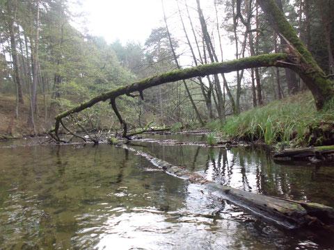 Baumhindernisse in der Korytnica