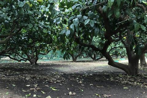 長澤マルユみかん園内の写真