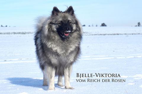 Jugendchampion, Auslesegruppe, Bjelle-Viktoria vom Reich der Rosen, Verein für Deutsche Spitze, Wolfsspitz