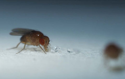 Foraging fruit flies (Drosophila melanogaster)