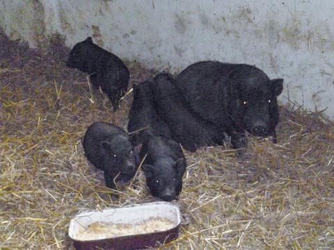 Mama mit 4 männl. u. 1 weiblichen Ferkel