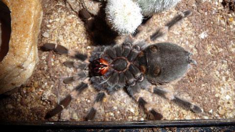 Kurz vor der Häutung - Conchita liegt auf dem Rücken