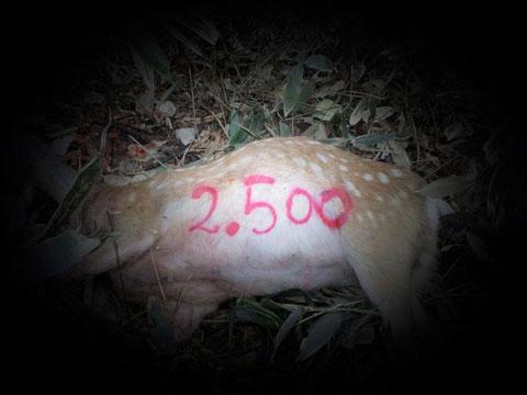 2500頭目の捕獲写真