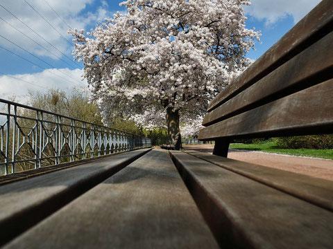 Kirschblüten betrachtend