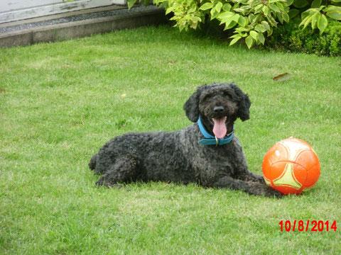 Aldo, der Wasserhund, ist jetzt glücklicher Münsteraner
