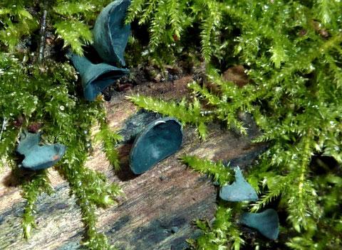 Der Grünspanbecherling färbt Holz blaugrün.