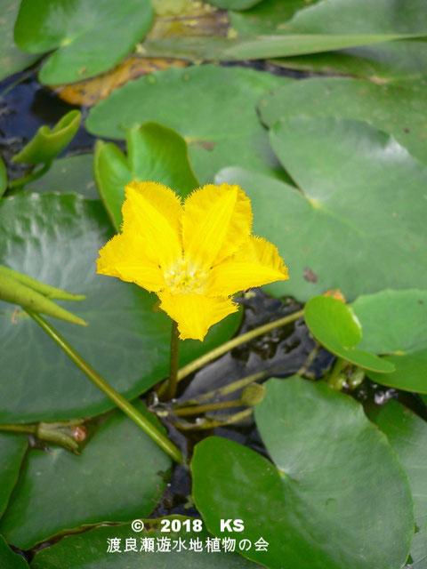 渡良瀬遊水地に生育しているアサザの全体画像と説明文書