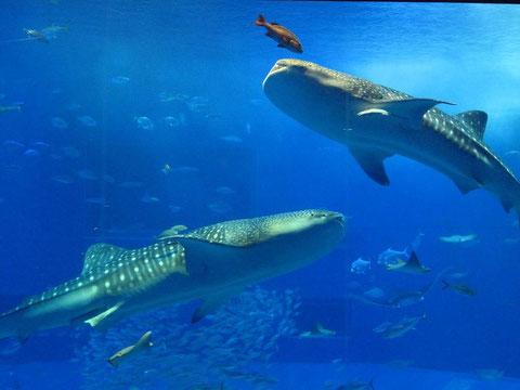 2014.2.14   沖縄美ら海水族館  (ジンベイザメ)