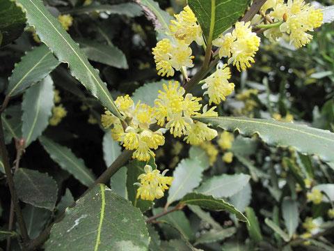 2014.4.13   月桂樹の花