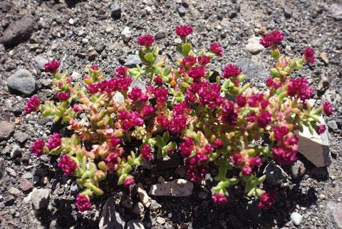 fleurs desert
