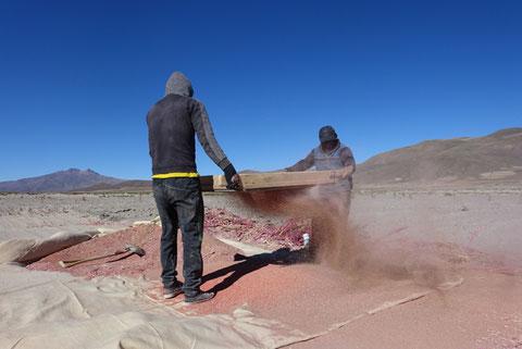 Tamisage de quinoa, salar de coipasa