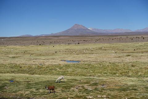 Altiplano avec lama