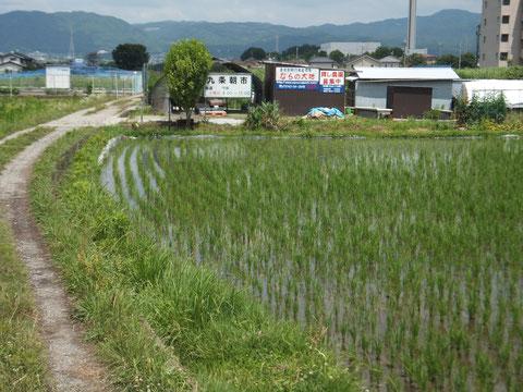 お隣の田んぼの田植えが終わり、水が入って涼しげです