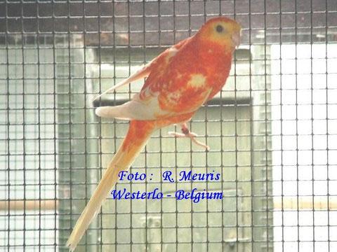 Lutino opaline oranje man     (rubino oranje)