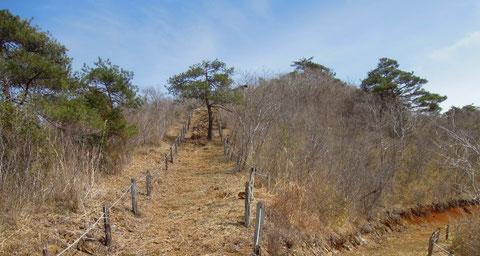 まさしく、枯山という名にふさわしい?蛇紋岩でできた山で疎らに松が生えており、この時期緑に見えるのは松ばかりです。ギフチョウが多くみられるのは、ピークの向こう側の尾根筋です。