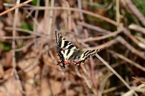 石川県との県境にある有名な山の麓で、羽化したばかりのギフチョウ♂がヨロヨロ飛んでいましたので、何とか撮影することが出来ました