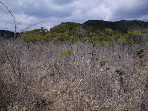 旧天竜市の蛇紋岩地帯で、松の疎林と笹に覆われていますが、よく見るとヒメカンアオイがたくさん生えています。こんなところを歩いていると、密猟者に間違われる(笑い)ので、よい子は真似をしないように。