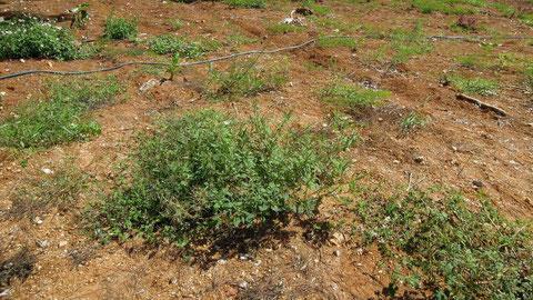 在所集落のはずれにある荒れた耕作地で、中央がイヌビユ、左上に吸蜜をしたセンダングサが見えます。2011.09.29COOLPIX P300(上下トリミング)