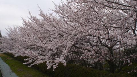 法面のサクラは八分咲きというところで、次の雨までは大丈夫と思います。