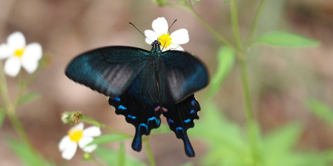 オキナワカラスアゲハの吸蜜写真です。きれいな個体でした。国頭村2011.10.01 E-5+シグマ150mmマクロ(上下トリミング)