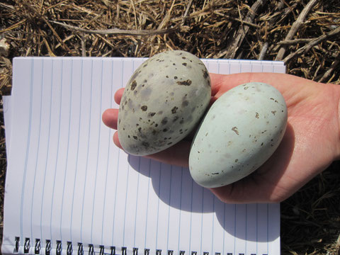 Measuring Pacific Gull eggs