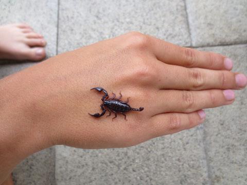, Euscorpius tergestinus - Triestiner Skorpion