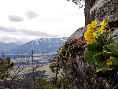 Alpenaurikel (Primula auricula), Petergstamm, Gemsblume, Gamsveigerl, gelbe Aurikel, Felsen, Alpenblume