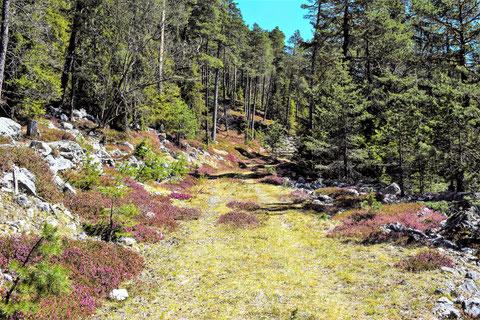 Schneeheide (Erica carnea), auch Winterheide oder Frühlingsheidekraut