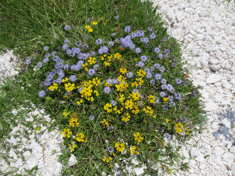 Montasio Montasch, Julische Alpen, Pecol Alm, Blumen